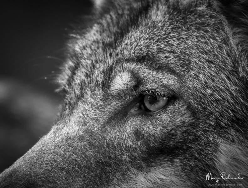 wolf_Anholter-Schweiz-7465-138