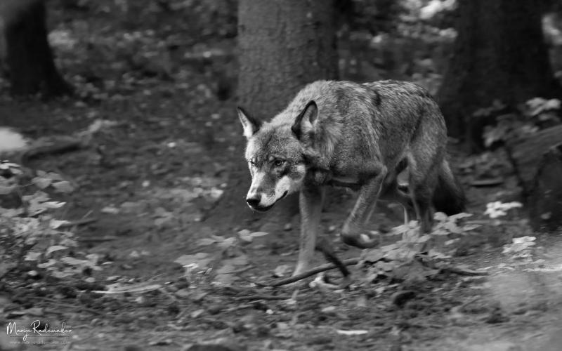 wolf_untitled-7800