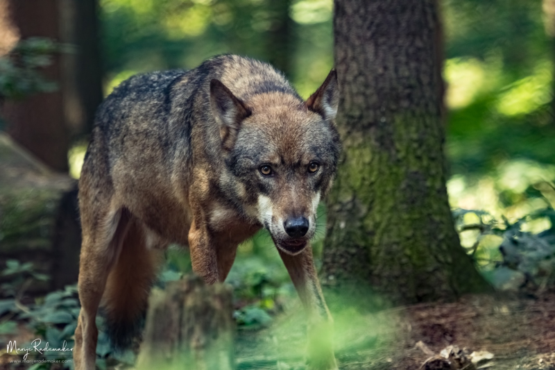 wolf_untitled-7929