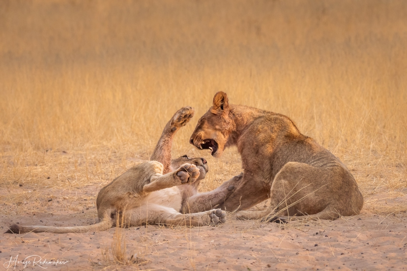 Captured at Kgalagadi Transfrontier Park on 25 Sep, 2018 by Marije Rademaker