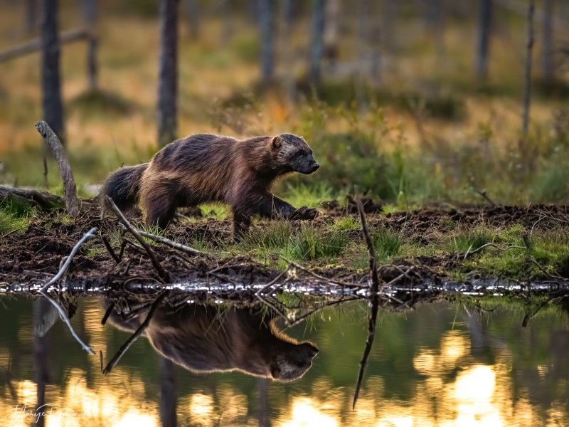 Captured at Wildlife Finland on 19 Sep, 2019 by Marije Rademaker