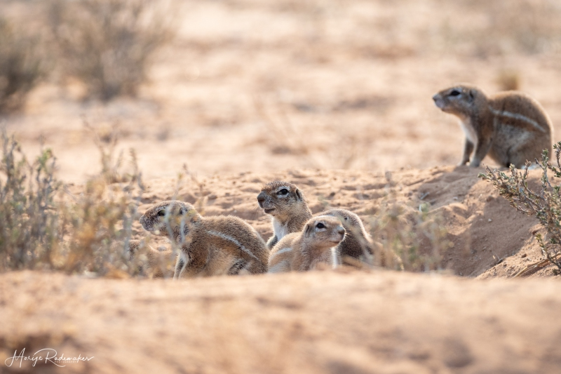 Captured at Kgalagadi Transfrontier Park on 22 Sep, 2018 by Marije Rademaker