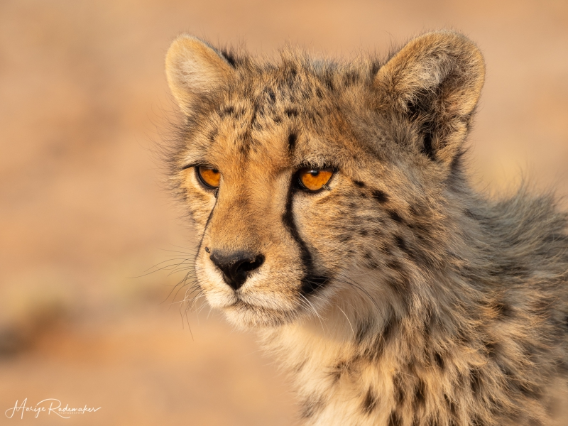Captured at Kgalagadi Transfrontier Park on 23 Sep, 2018 by Marije Rademaker