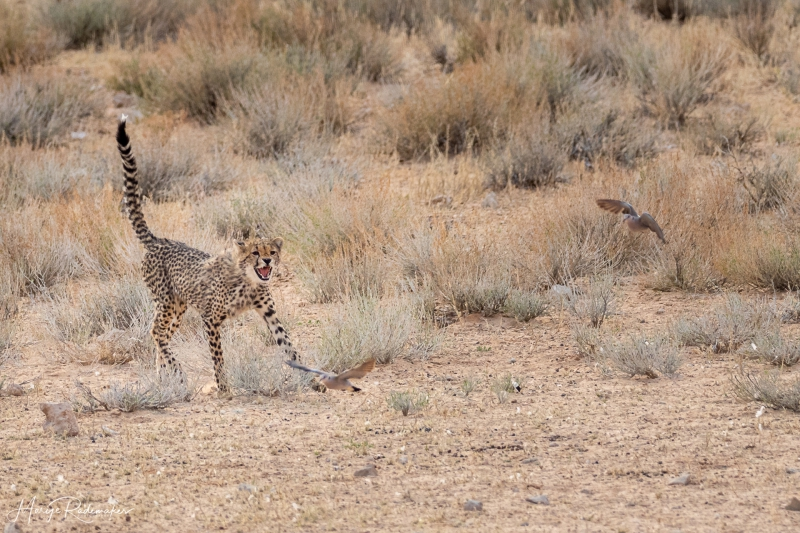 Captured at Kgalagadi Transfrontier Park on 24 Sep, 2018 by Marije Rademaker