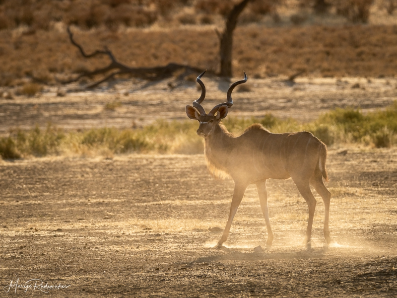 Captured at Kgalagadi Transfrontier Park on 29 Sep, 2018 by Marije Rademaker
