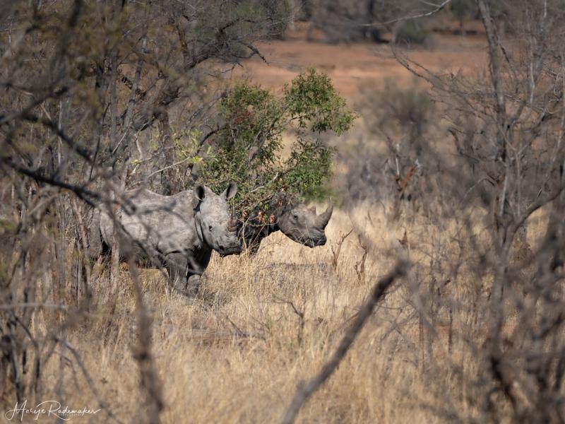 Captured at Kruger NP on 06 Oct, 2019 by Marije Rademaker