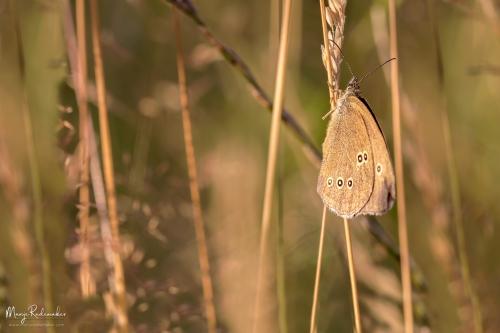 macro_vlinder19juli2014_1-127