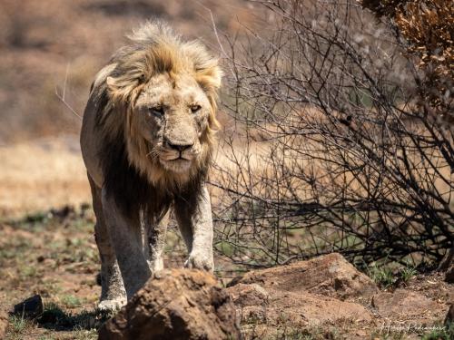 Captured at Pilanesberg on 02 Oct, 2018 by Marije Rademaker