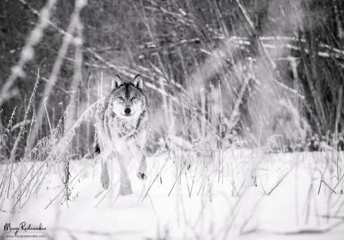 wolf_P1242243-111