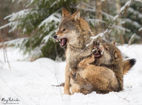 wolf_P1285368